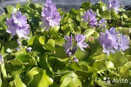 Гиацинты — посадка и уход в открытом грунте, рекомендации