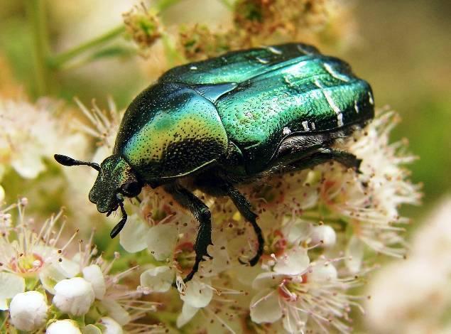 Как избавиться от личинок майского жука в огороде и саду?