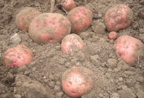 Зорачка: описание семенного сорта картофеля, характеристики, агротехника