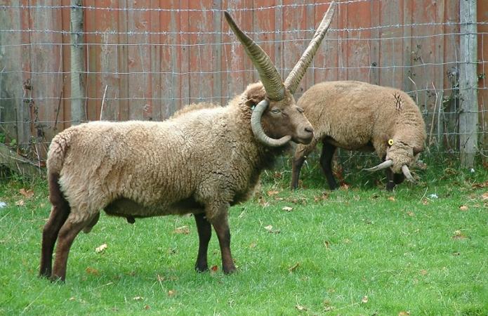 Мясные породы овец в россии. разведение овец мясной породы
