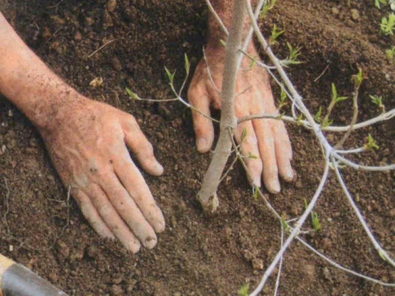 Сажаем груши весной: правила и инструкции