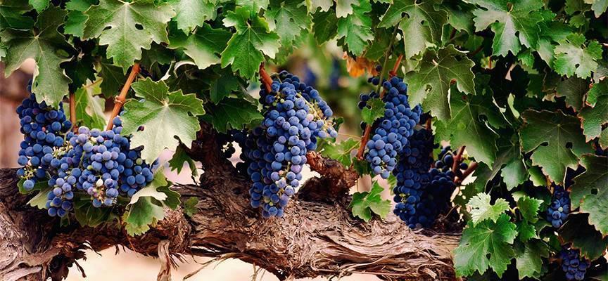 Пятна на винограде – что делать и чем лечить кусты