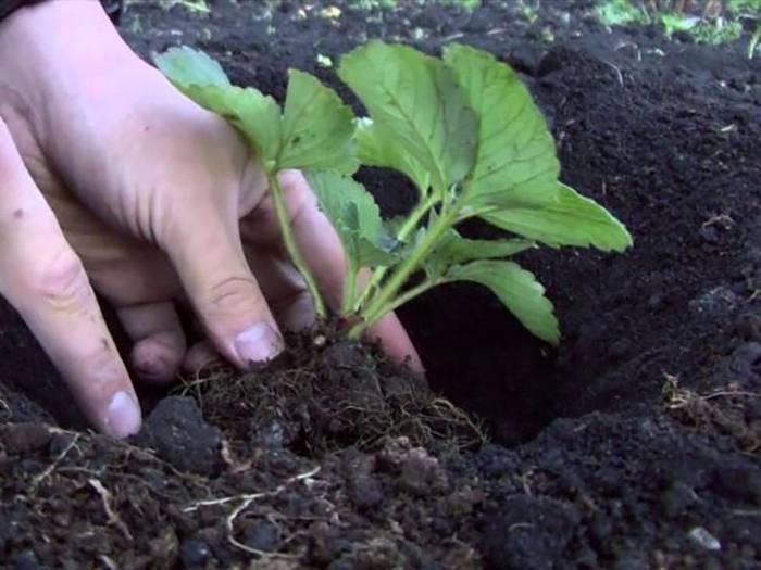 Как размножить клубнику, которая не дает усов