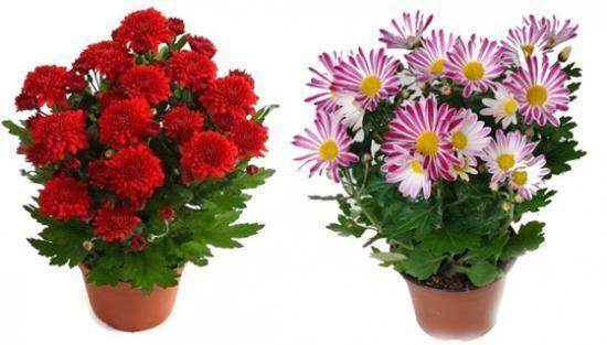 Хризантема комнатная - уход в домашних условиях, основные правила выращивания