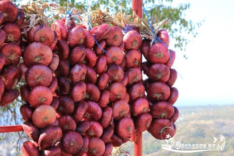 Лук ялтинский выращивание из семян в подмосковье