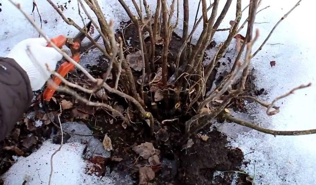 Чем обработать крыжовник от мучнистой росы весной