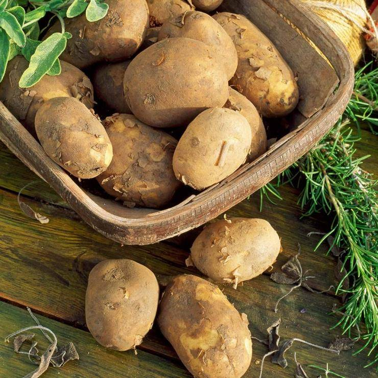 Картофель «триумф»: описание сорта и рекомендации по выращиванию