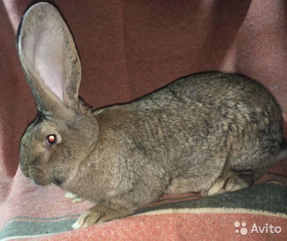 Кролики породы ризен: немецкий ризен, фото, описание, разведение