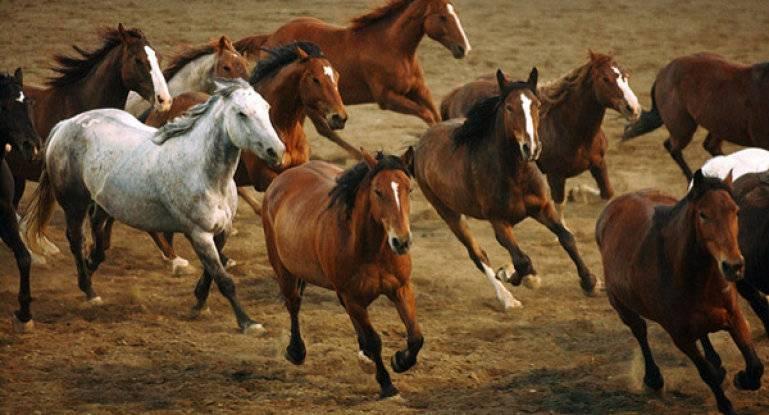 Мустанг – одичавшая лошадь дикого запада