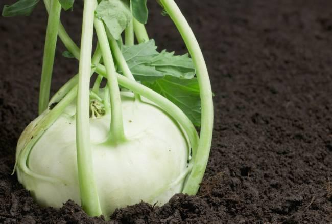 Выращивание капусты кольраби в открытом грунте