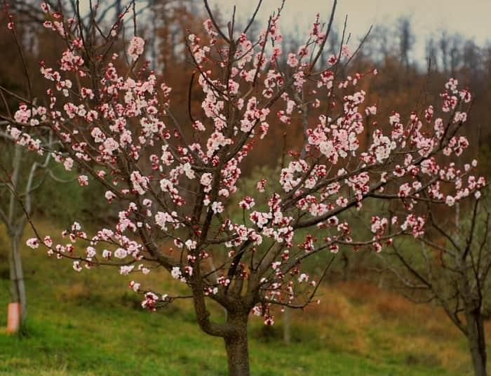 Почему садоводам необходимо удобрять абрикос весной