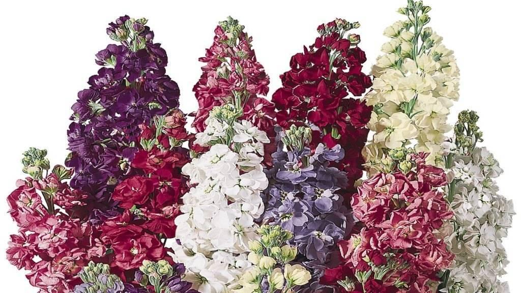 Как посадить и вырастить маттиолу из семян: лучшие сорта, условия выращивания