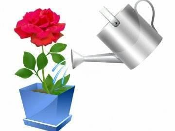Как часто поливать розы дачные. как правильно поливать розы в жаркую погоду