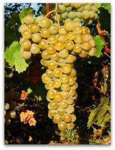 Виноград цитронный магарача: описание сорта, характеристика и фото