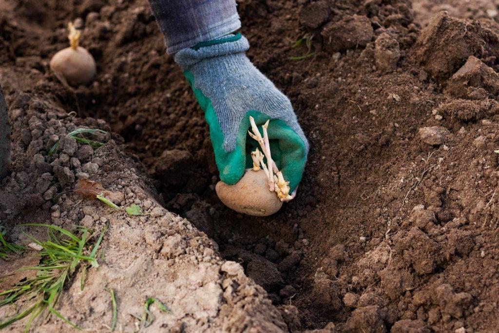 Посадка и выращивание картофеля на даче
