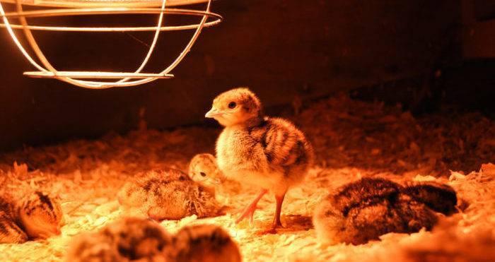 Цыплята кормление и содержание первые 3 недели