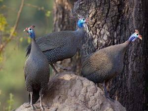 О цесарках: как отличить самку от самца по голосу, определение возраста птицы