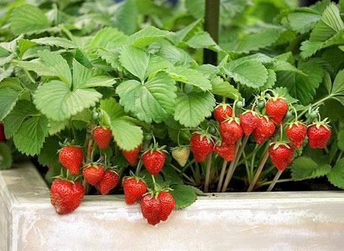 Болезни листьев и ягод клубники – как определить и что делать