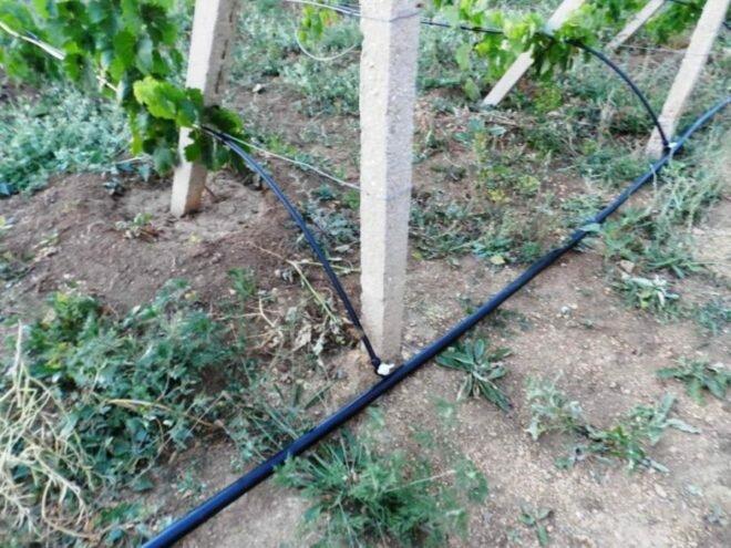 Полить виноград горячей водой. учимся как правильно нужно поливать виноград