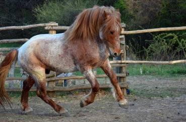 Чалая масть лошади фото