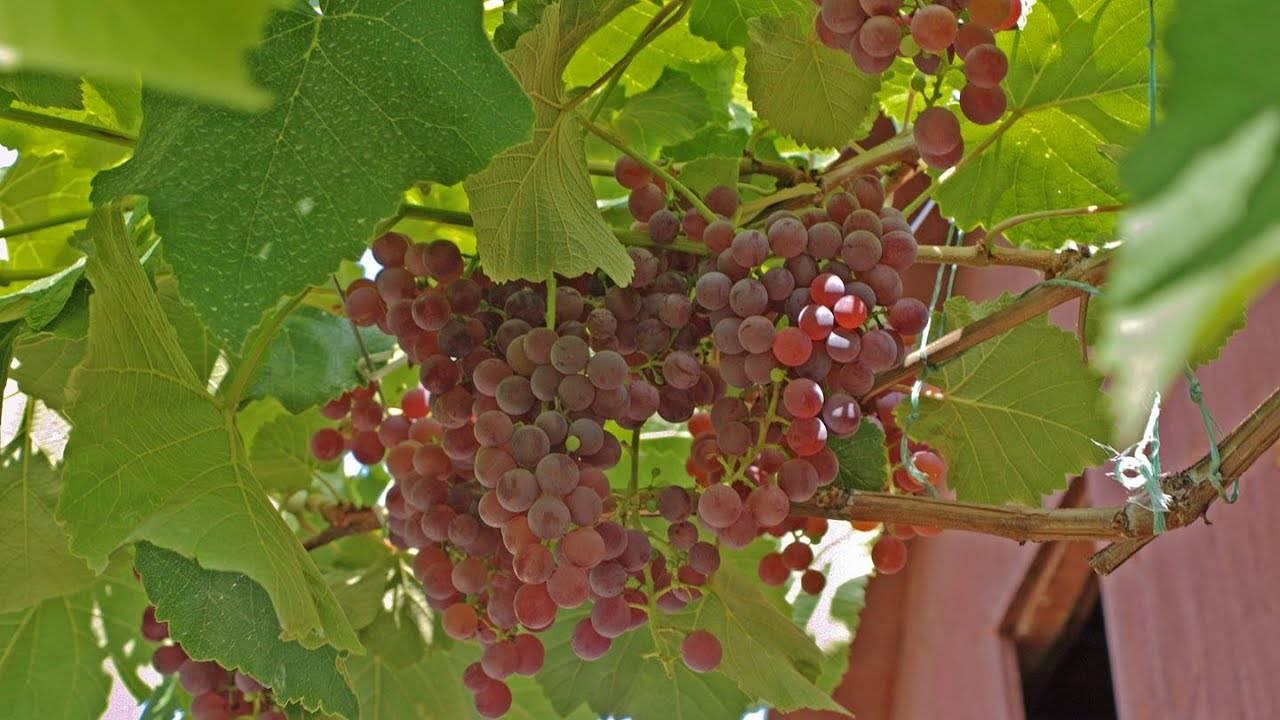 Виноград «рилайнс»: описание сорта с фото, отзывы, посадка и уход