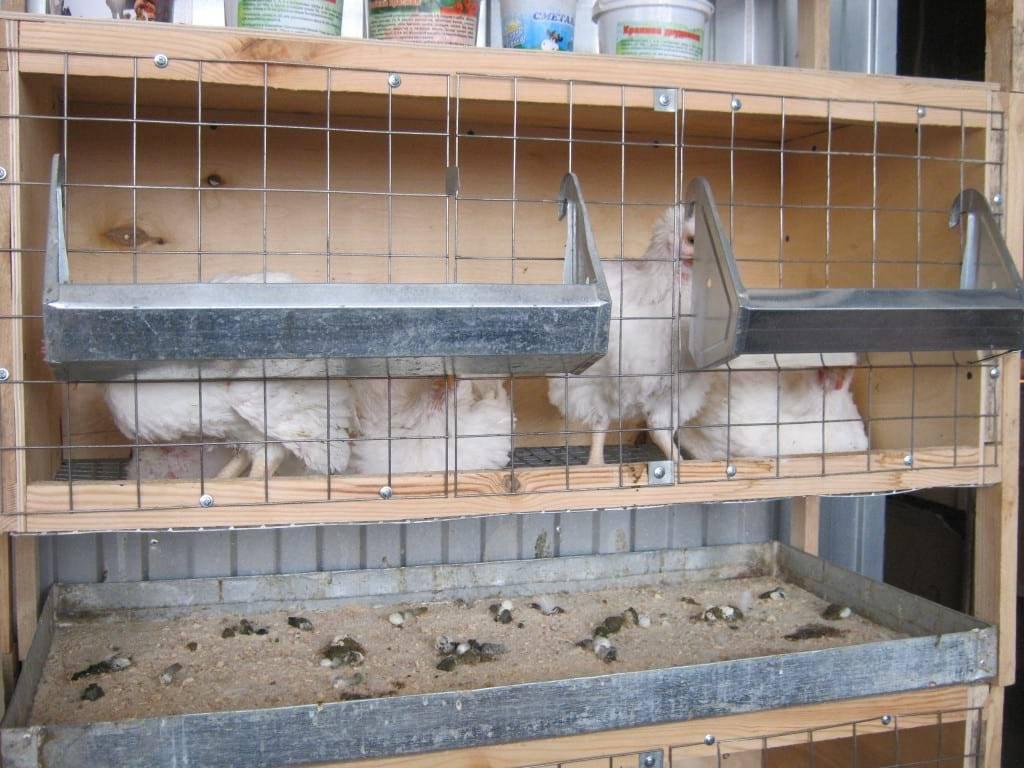 Выращивание бройлеров в домашних условиях — секреты гигантской тушки