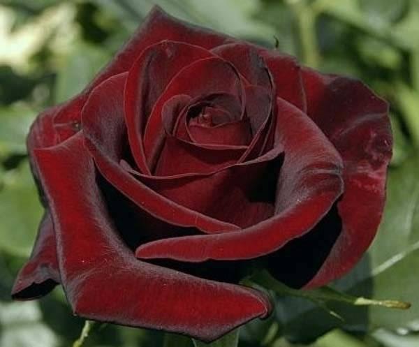 О бордовых розах: характеристики самых лучших темно-красных сортов роз