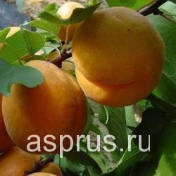 Описание сорта абрикос жигулевский сувенир