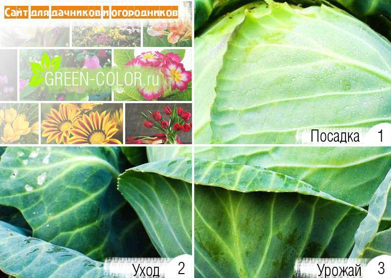Чем подкормить капусту после высадки в грунт - самые лучшие методы и средства