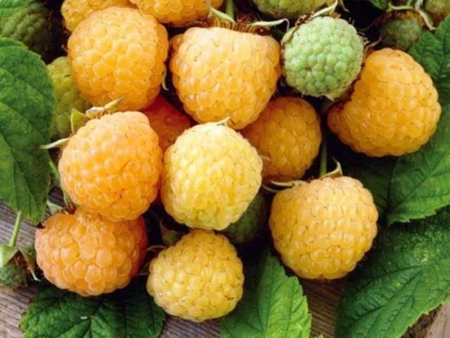 Крупноплодный сорт малины жёлтый гигант: особенности выращивания, урожайность