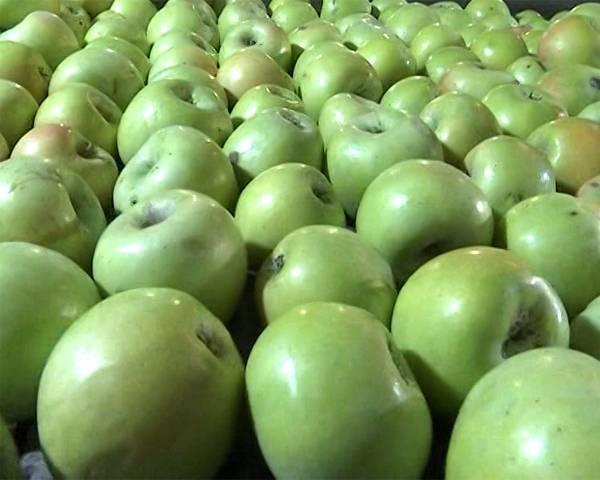 Как правильно посадить яблоки семеренко? особенности ухода и хранения плодов