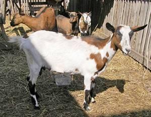 Обзор лучших пород коз молочного направления: описание признаков и сравнительная характеристика