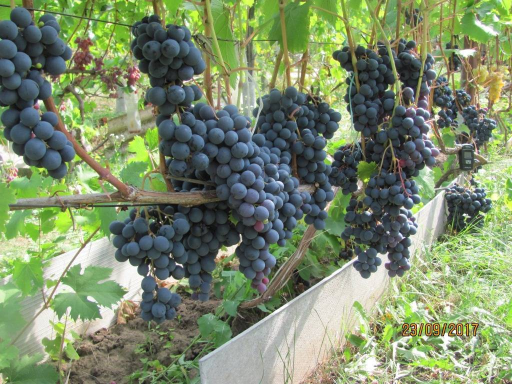 Сорт винограда «страшенский» описание с фото и видео