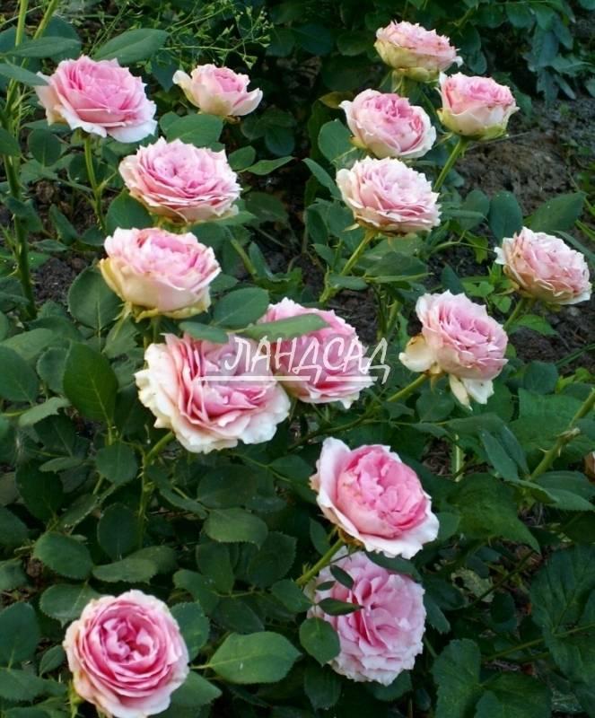 Сорта на букву: f :: энциклопедия роз