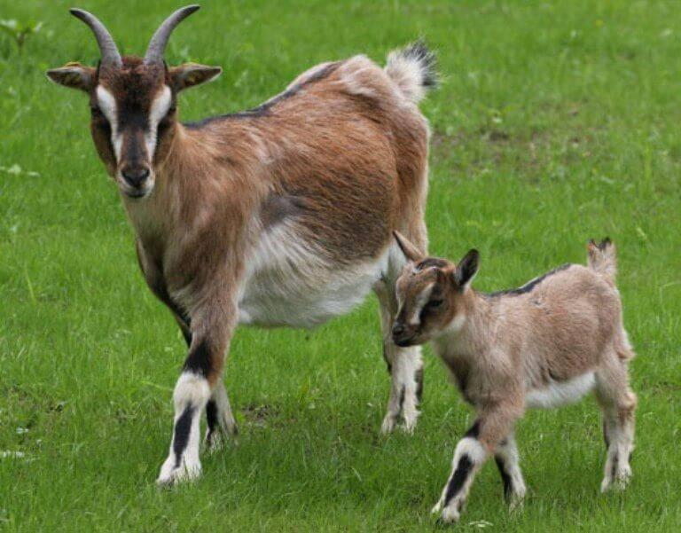 Домашняя коза: выбор породы, содержание и уход