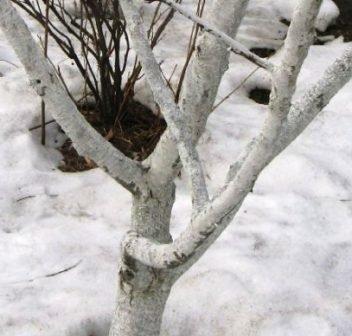 Садовая краска для деревьев: виды, инструкция по применению. побелка деревьев весной