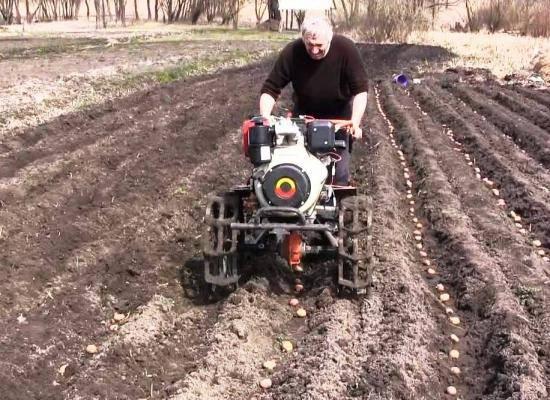 На какую глубину сажать картофель - полезные советы бывалых садоводов