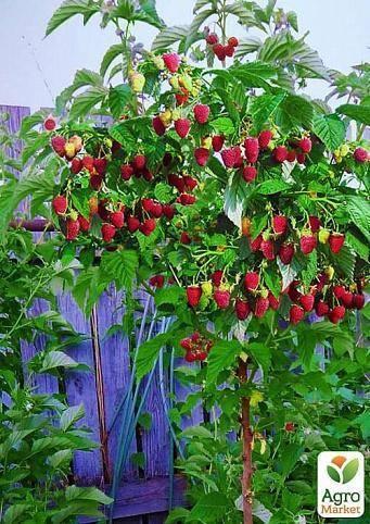 Малиновое дерево: посадка, уход, выращивание сортов Таруса и Крепыш
