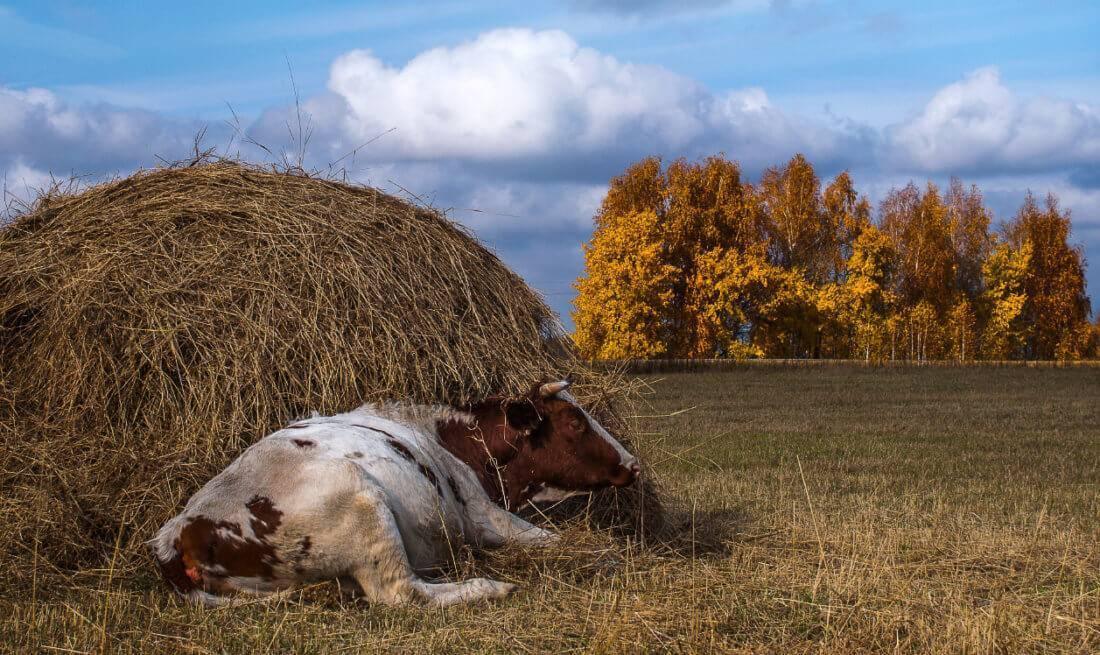 Сколько сена нужно подготовить корове на зиму – выбор и сроки скашивания травы, а также расход и условия хранения