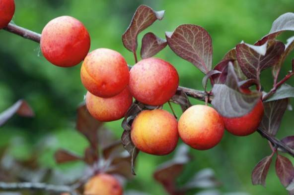 О сливе Генеральская: описание сорта, опылители, агротехника выращивания