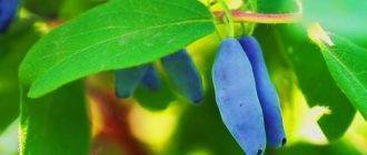 Голубика на садовом участке
