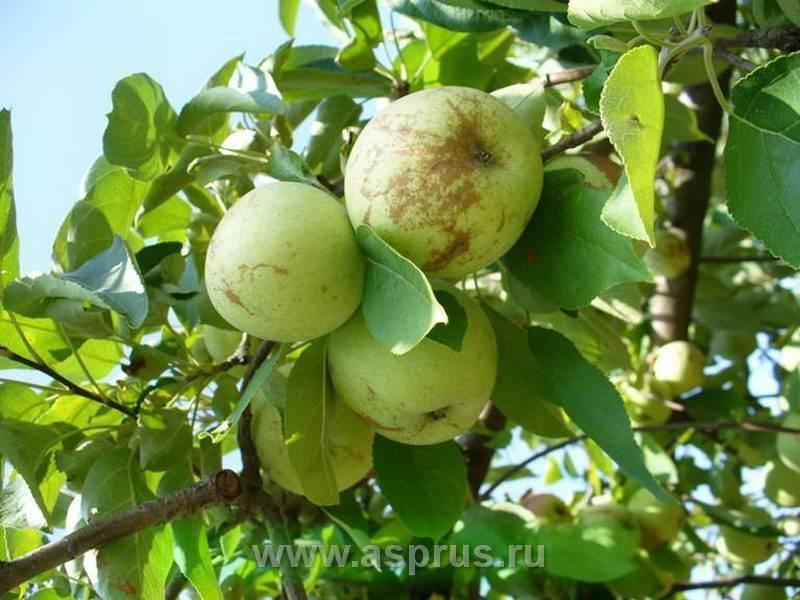 Причины и лечение белого налета на листьях яблони