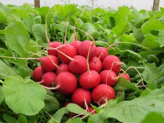 Все о сорте рекордной урожайности: описание и характеристики, выращивание, хранение и болезни редиса чемпион