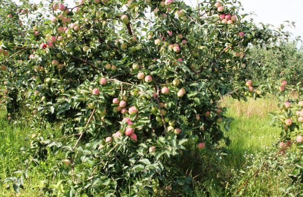 Красивые и вкусные яблоки подарит вам сорт орловский пионер