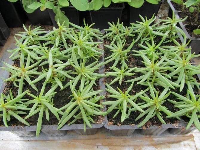 Портулак: выращивание из семян, когда сажать