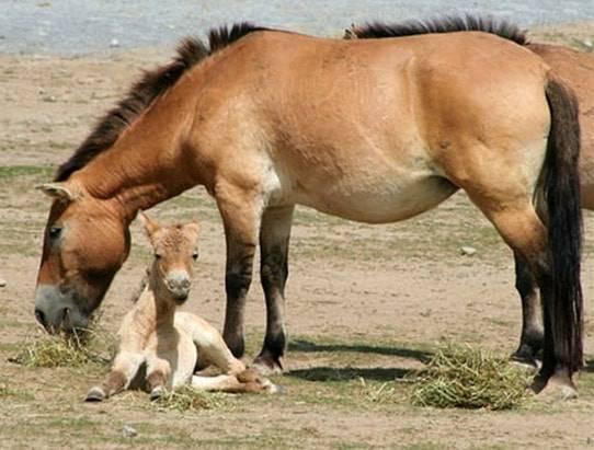 Кто такая лошадь пржевальского: история, образ жизни и интересные факты