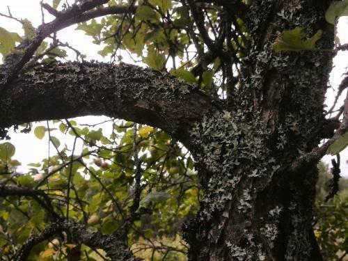 Почему появляется лишайник на яблоне, как избавиться от него – явные причины и простые методы борьбы » моя фазенда - сайт о саде и  огороде
