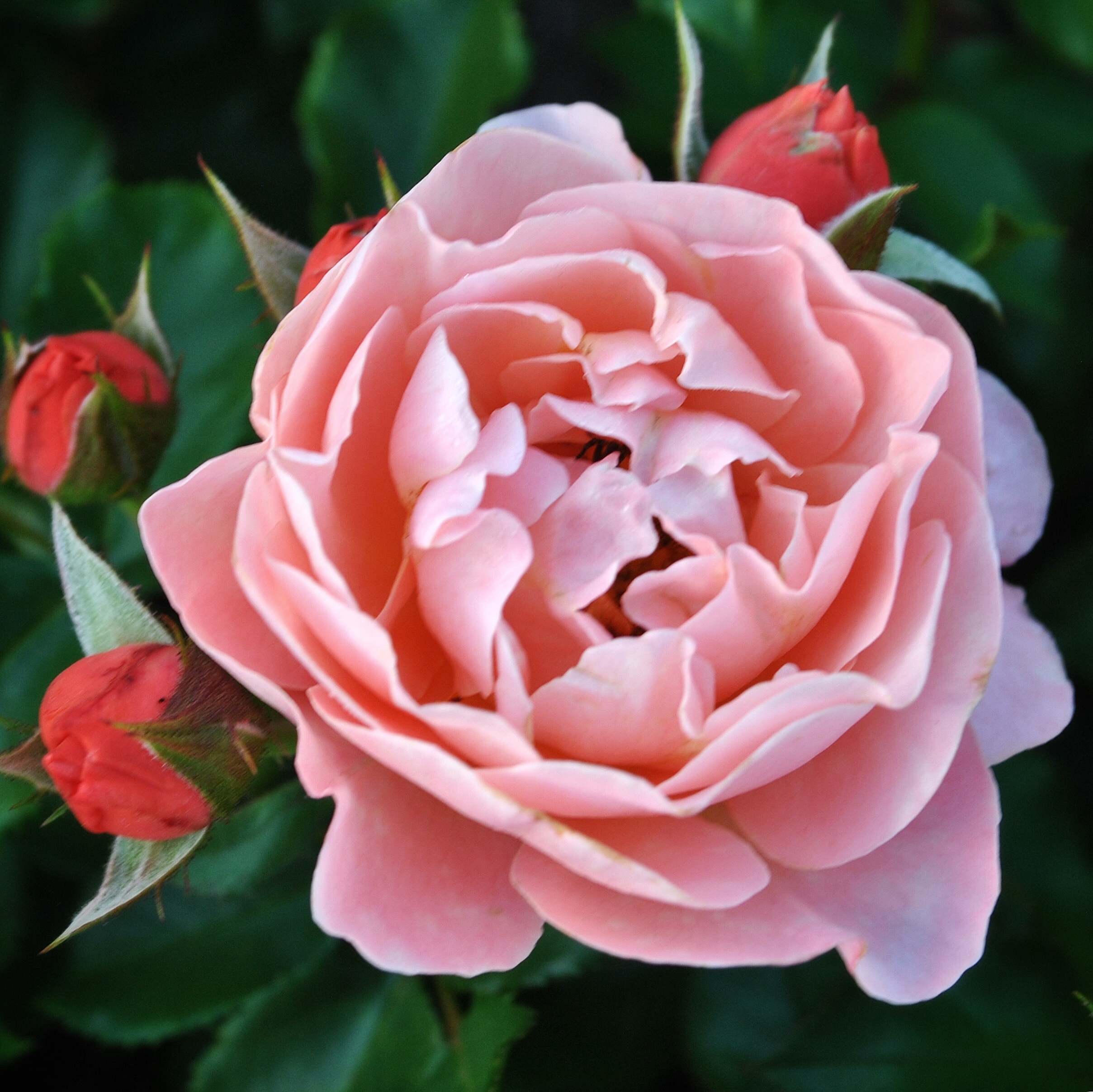 Роза квин оф свиден (queen of sweden) — описание сорта