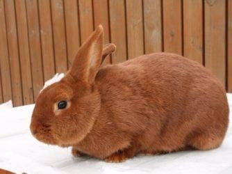 Белый новозеландский кролик (нзб): описание и характеристика породы, содержание и разведение, болезни и лечение