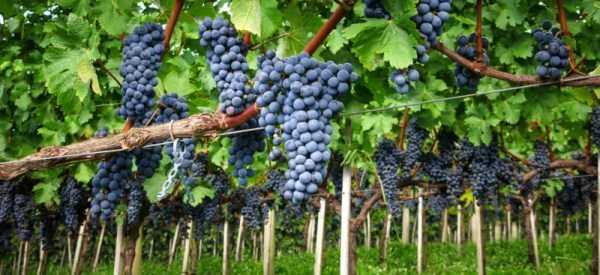 Закладка виноградников на дону